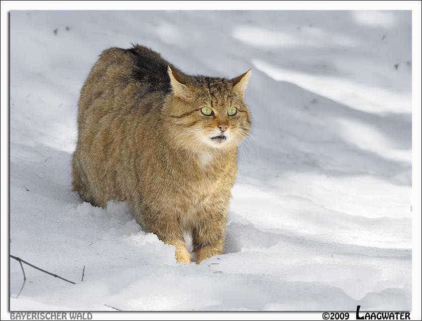 Cat S Wild