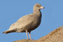 Glaucous Gull - Grote Burgemeester