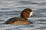 scaup - topper